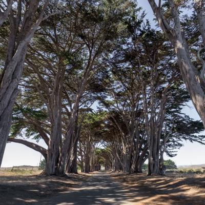 POINT REYES - CYPRESS TREE TUNNEL