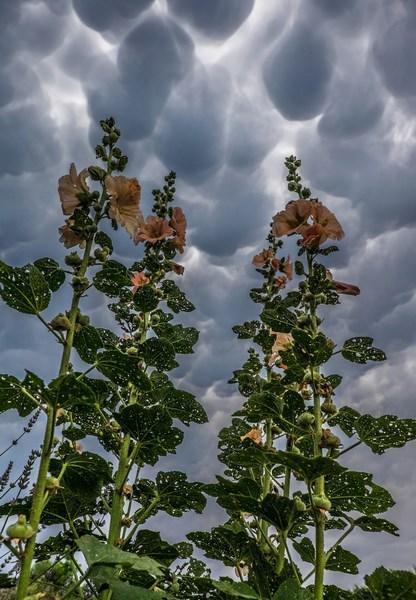 Mammatus et roses trémières